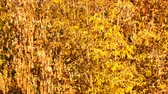 断る : Yellow autumn foliage on the trees in a park 動画素材