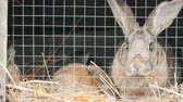 recém nascido : Little newly born rabbits with their mom run and eat in cage