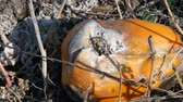 keser : Rotten pumpkin growing on a field