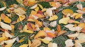 сентябрь : Autumn yellow fallen leaves on green grass in park