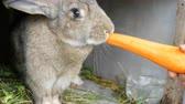 davranır : Funny very big gray rabbit chewing or eats large carrots. Easter concept Stok Video