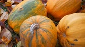 de amor : Four large pumpkins lie in autumn fallen leaves. Pumpkin crop for Halloween Vídeos