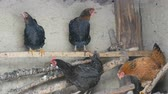ali di pollo : Chickens sit in rural chicken coop in winter