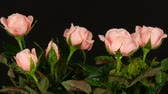 czerwona róża : Beautiful tender fresh blooming pink rosebuds in a flower pot on a black background. Wideo