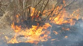 droogte : Dangerous wild fire in nature, burns dry grass. Burnt black grass in forest glade