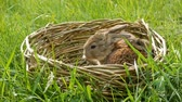 vime : Two newborn little weekly cute fluffy bunnies in a wicker basket in green grass in summer or spring