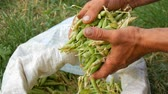 érettség : Hands of a male farmer hold many freshly harvested green pea pods in a white bag
