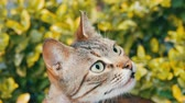 abandoned alley : Homeless striped cat with torn ear against the background of green grass Stock Footage