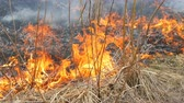 droogte : Spontaneous fire in the nature, burning grass, forest, trees, bushes. Huge area of burnt land Stockvideo