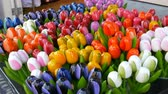 jellegzetes : Wooden multi-colored tulips souvenirs and symbols of the Holland Stock mozgókép