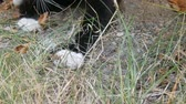 punci : Black and white cat plays with real lively gray mouse in the yard on green grass