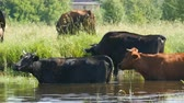jezera : A herd of cows drinks water at a watering place in river and grazes in meadow in summer