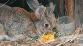 królik : Beautiful funny little young rabbit cubs and their mom eat grass in a cage on farm.