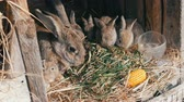 investigacion : Beautiful funny little young rabbit cubs and their mom eat grass in a cage on farm.