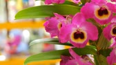 fechar se : Colorful pink orchid flowers on exhibition in greenhouse Stock Footage