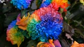 czerwona róża : Beautiful unusual interesting multi-colored rainbow peonies, daisies, roses. Selection of flowers, unusual flower color Wideo