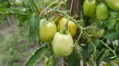 horta : Green unripe tomatoes grow on a bush in garden