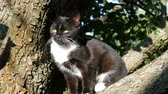 horta : Beautiful black-white cat with a long white mustache sits on tree in the village