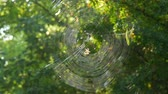 horta : Huge round web on a tree in the forest. On it a spider crusader weaved new threads