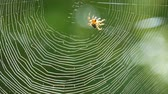 horta : Brown spider crusader weaves a web on a tree in summer. Web weaving on background of green foliage of trees. Big beautiful round web
