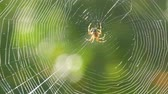 челюсти : Brown spider crusader weaves a web on a tree in summer. Web weaving on background of green foliage of trees. Big beautiful round web