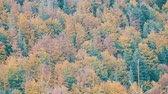 mestiço : The natural beauty of one of the oldest mountains in world. Beautiful multi-colored foliage in the Carpathian mountains in early autumn in October.