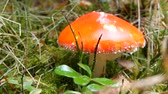 plazit se : A huge giant fly agaric red color close-up view. Autumn harvest of mushrooms in Carpathians Dostupné videozáznamy