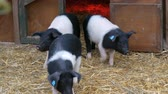 ferkel : Three funny black and white pigs walk and play near their crib in rural yard