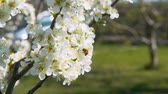 bees pollinate flowers in blossom fruit tree in spring garden