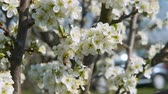 Bees pollinate blossoming fruit tree in the spring garden in beautiful motion