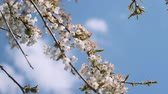 tree twigs with white petals are moving in the wind light spring video background