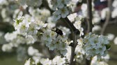 bumblebee collecting nectar in fruit tree with white petals slow motion