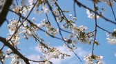 tree twigs with white petals are blowing in the wind spring video background Stock Footage