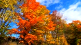 ölen : Slow Motion - Pan Across Yellow and Orange Leaves Blowing in Breeze During Fall Colors in Vermont.
