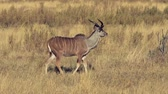 afrika : Kudu walks across a field in Namibia