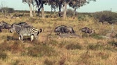 запустить : Zebras and Wildebeasts are seen running across the plains in Botswana