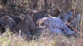 girafa : Lion cubs attempt to eat a giraffe killed by their mother.  Their teeth are not strong enough to break the skin.