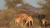 girafa : Two young male giraffes are seen fighting for the affections of a female in Botswana. The video is normal speed, but the fight almost appears to happen in slow motion.
