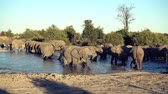 buzağı : A parade or herd of elephants is seen drinking from a natural water hole in Botswana
