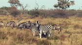 migrating : Zebras and Wildebeasts are seen walking across the plains in Botswana