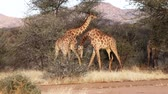 emaranhado : Two young male giraffes are seen fighting for the affections of a female in Botswana. The video is normal speed, but the fight almost appears to happen in slow motion.