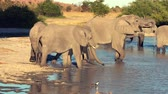 poça de água : A parade or herd of elephants is seen drinking from a natural water hole in Botswana