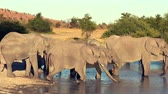 слоновая кость : A parade or herd of elephants is seen drinking from a natural water hole in Botswana