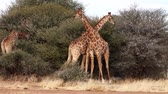 giraffe : Two young male giraffes are seen fighting for the affections of a female in Botswana. The video is normal speed, but the fight almost appears to happen in slow motion.