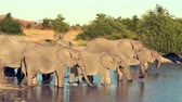tusks : A parade or herd of elephants is seen drinking from a natural water hole in Botswana