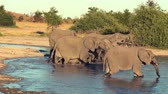 elefante : A parade or herd of elephants is seen drinking from a natural water hole in Botswana