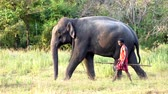 саванна : Haberna, Sri Lanka- 2019-03-22 - Elephant and His Handler Walk Side By Side Through Field Right to Left.
