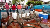 Galapagos, Ecuador - 2019-06-20 - Tourists Watch Fish Seller As Brown Pelicans Shiver.