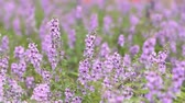 purple : Close up of violet lavenders flowers. Stock Footage