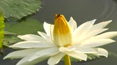 trabalho : 4K. UHD Bee in lotus and Bee group working find pollen on lotus in the day at the morning Bangkok Thailand